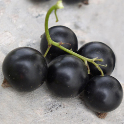 Black Currant Seed Oil - Ribes Nigrum