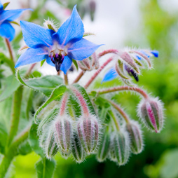 Borage Seed Oil - Borago Officinalis