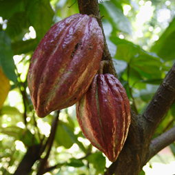 Cocoa Butter - Theobroma Cacao