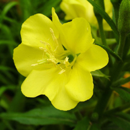 Evening Primrose Oil - Oenothera Biennis
