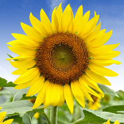Sunflower Oil - Helianthus Annuus