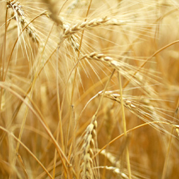 Wheat Oil – Triticum Vulgare